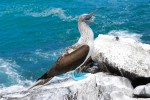 Blue-Footed-Booby-Wes-Goble